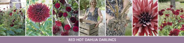 4. Dahlia's planten & bloemen
