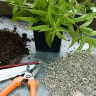Cuttings Lemon Verbena