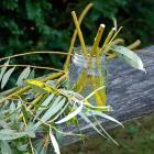 Cuttings Willow